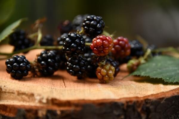 Blackberries ready for picking