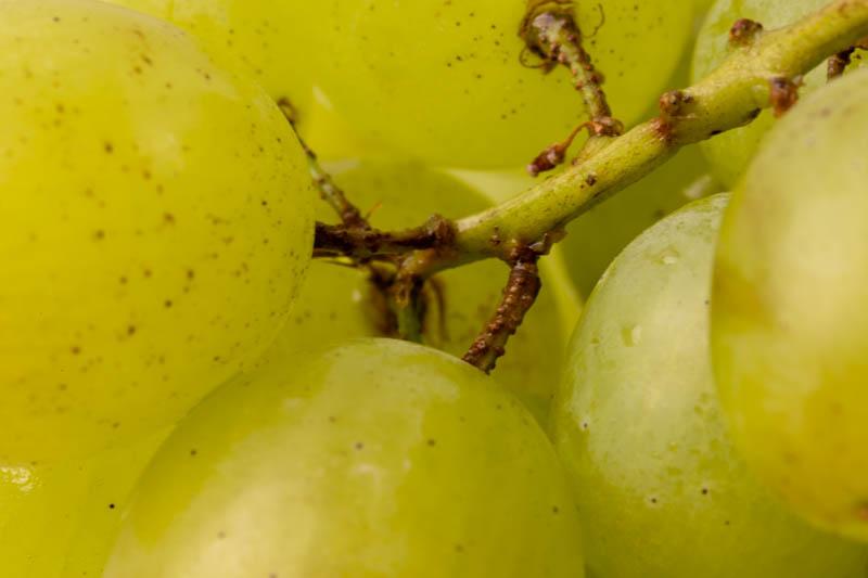 Grape stems