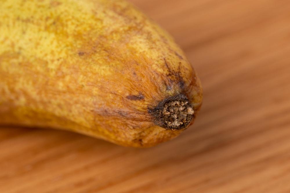 Pear shriveling near the stem