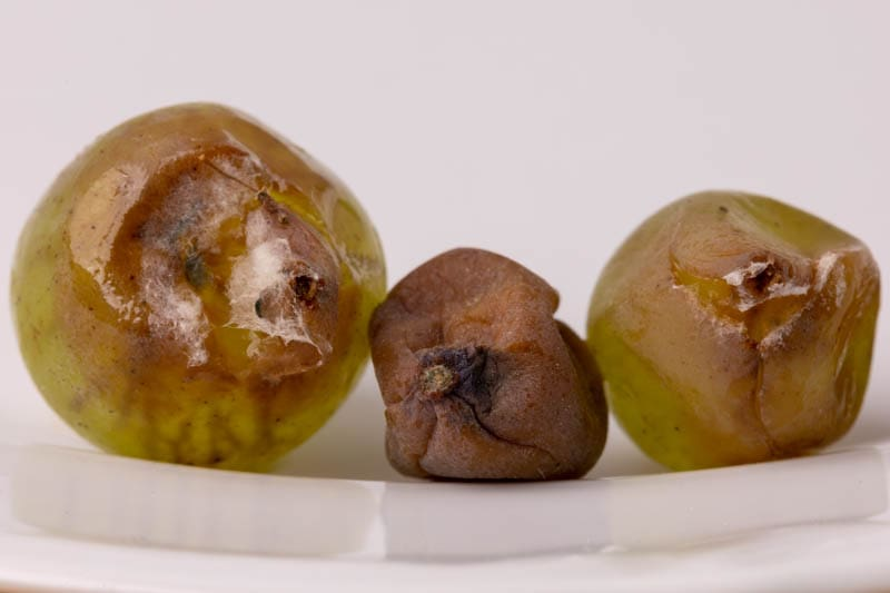 Rotten and moldy grapes